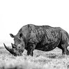 High Key Rhino