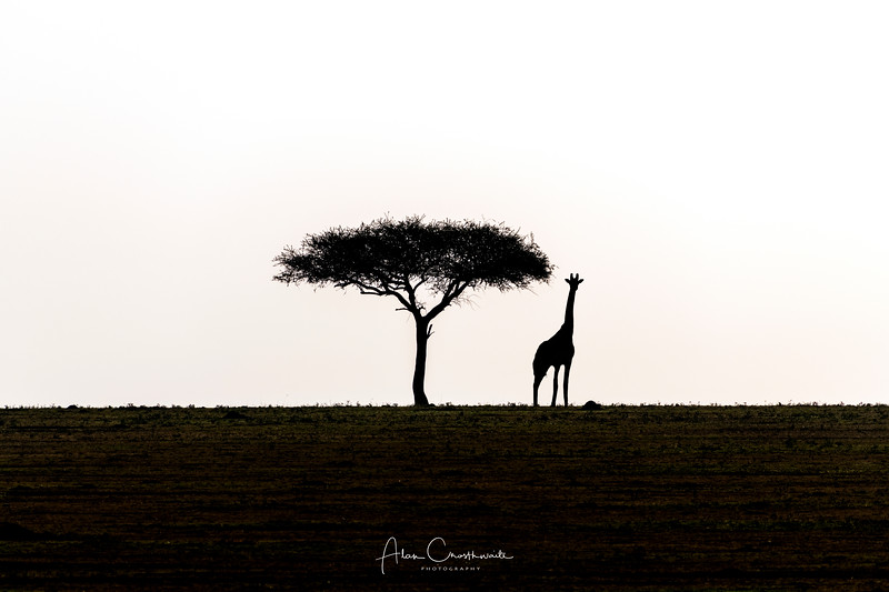 Giraffe and Acacia Tree