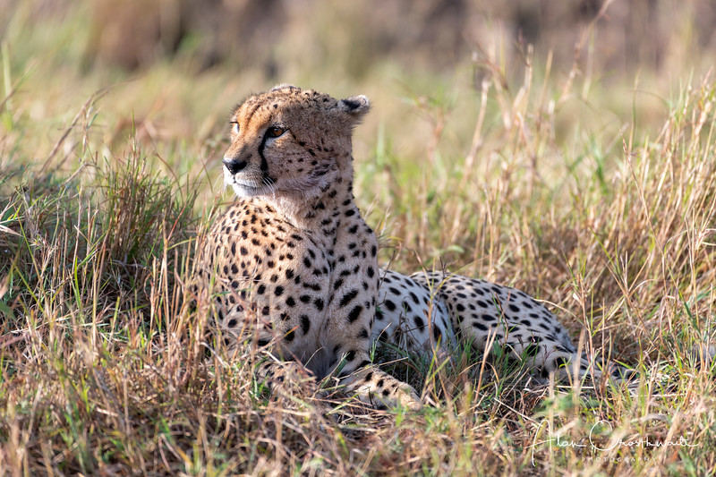 Watchful Cheetah in brush