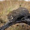 Julani leopard cub