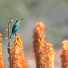 Malachite Sunbird on Aloe blooms, South Africa