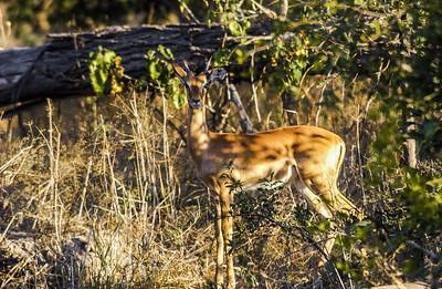 Impala Camouflage
