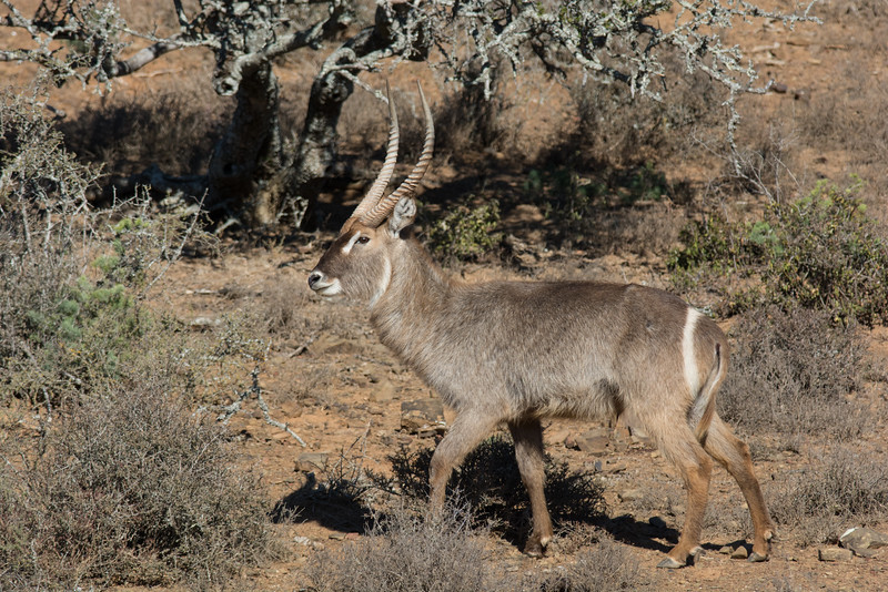 Waterbuck bull, South Africa