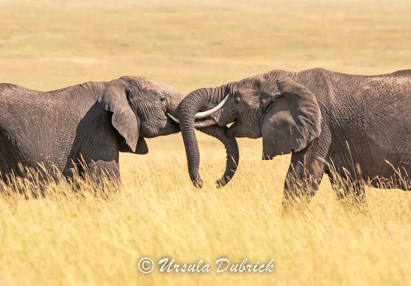 Elephants Greeting One Another - Masai Mara, Kenya