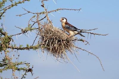 Pygmy Falcon Samburu Kenya 2011