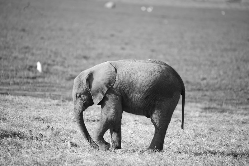 African elephants wander through 37 African countries.  There are two subspecies of African elephants--the Savanna (or bush) elephant and the Forest elephant. Savanna elephants are larger and their tusks curve outward. Forest elephants are darker and their tusks are straighter and point downward.