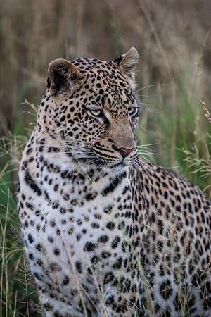 Leopard portrait copy