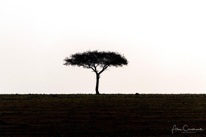 Solitary Acacia Tree