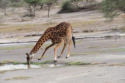 Giraffe at Dry River