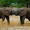 Elephant Tug of War