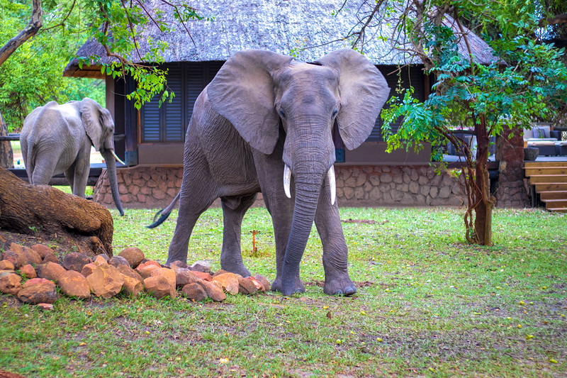Elephants and mangos.  Mfuwe Lodge, S Luangwa National Park