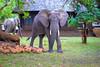 Elephants and mangos.  Mfuwe Lodge, S Luangwa National Park
