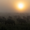 Wildebeest Sunrise 2