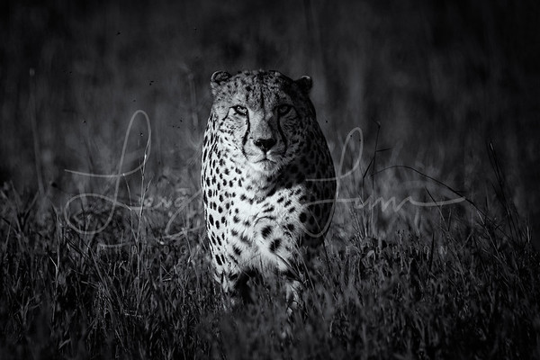 Cheetah Blk and White