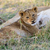 """Good to the last drop,""  Lion cub licking his/her lips after nursing."