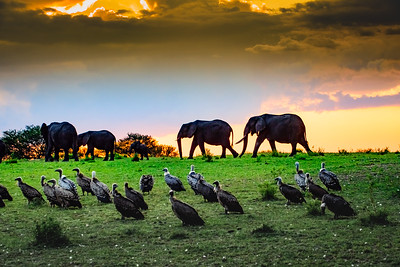 Elephants and Vultures at Sunset