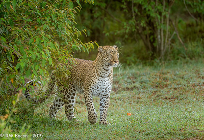 Mara Leopard