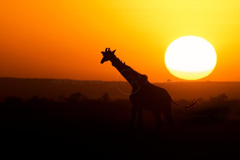 Silhouette of a Plain or Masai giraffe at sunset in Masai Mara Wildlife Refuge in Kenya