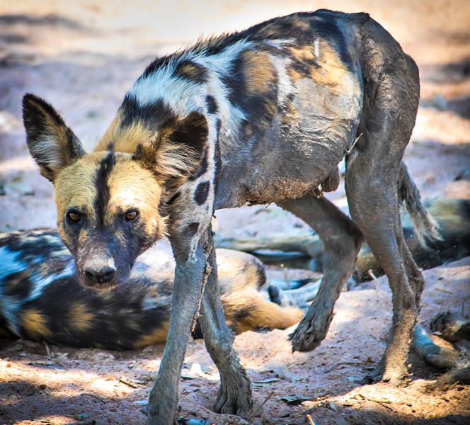 Wild dog.  S Luangwa National Park