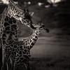 Momma and Baby Giraffe bnw