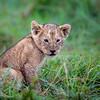 Young Cub