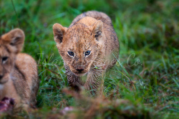 Baby Lion Cubs-1