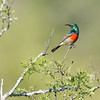 Greater Double-collared Sunbird, South Africa