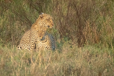 Mating Leopards KubuKubu 2048