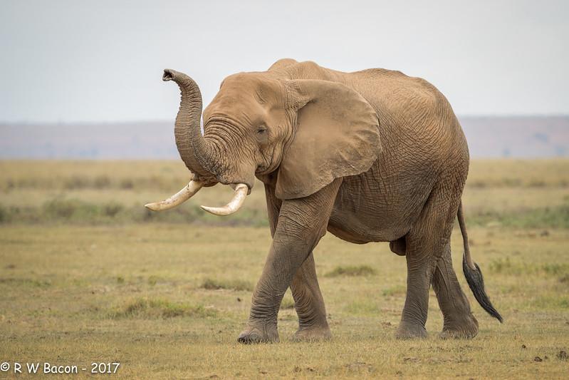 Red Elephant Bull
