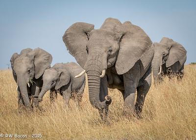 Mara Elephant Family - 2