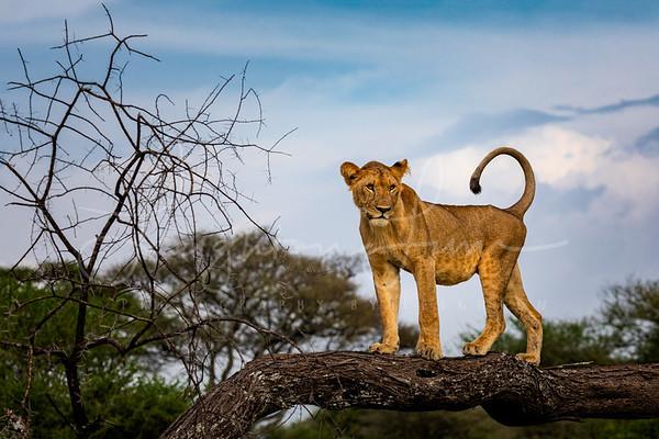 Climbing Lioness