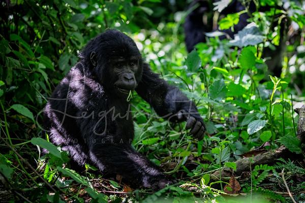 Female Gorilla in Bwindi