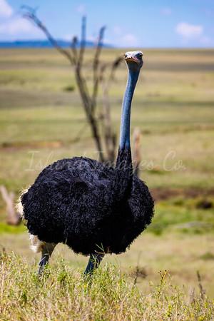 Somoli Ostrich