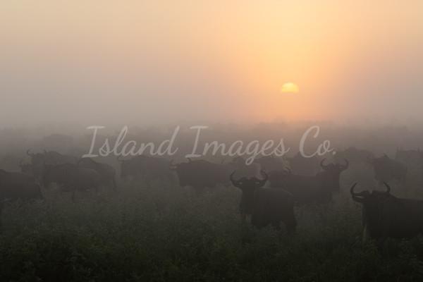Dawn of the Wildebeest