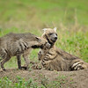 Striped hyenas - mother and pup