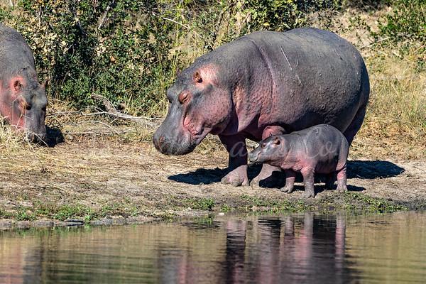 momma Hippo