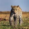 Mara cub stasredown