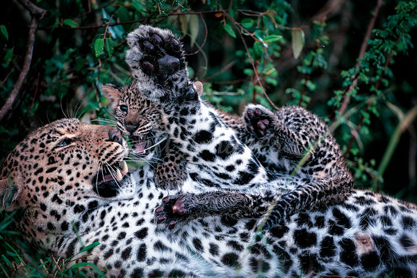 Mom and cub leopards 3