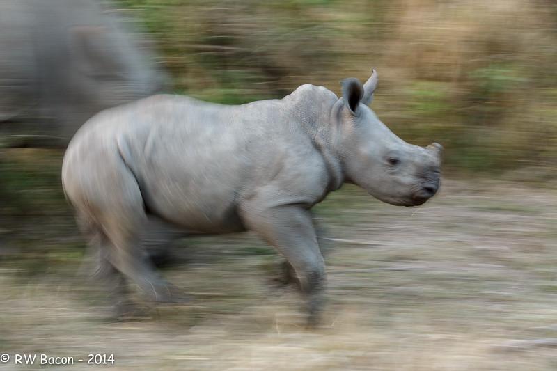 Baby Rhino Blur