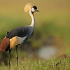 Crowned Crane in Masai Mara Wildlife Refuge in Kenya