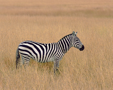 Kenya, Masai Mara National Reserve / Plains Zebra, Equus burchellii, in golden grasslands.  804H2