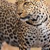 Momma leopard 2