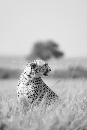 Mara Cheetah BNW_