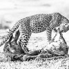 High Key Leopard cub on a kill_