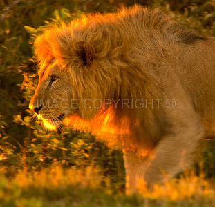 Lion; the King of the Jungle