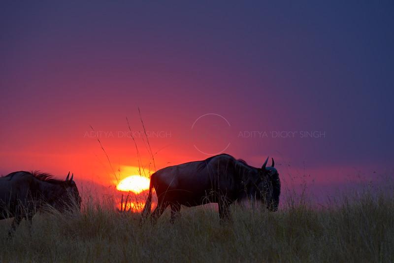 Wildebeests at sunset