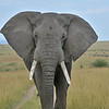 African Bush Elephant (Loxodonta africana) in the plains of Masai Mara