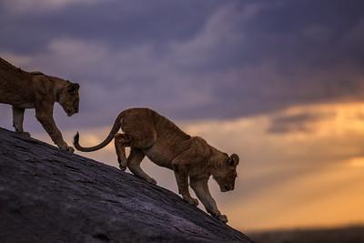 Lion Cubs on the Kopje