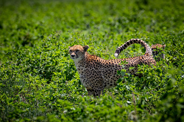 Cheetah in thhe grass