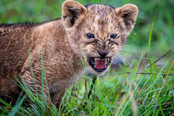 Young Cub snarl